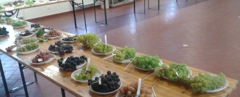 Vynuogių paroda